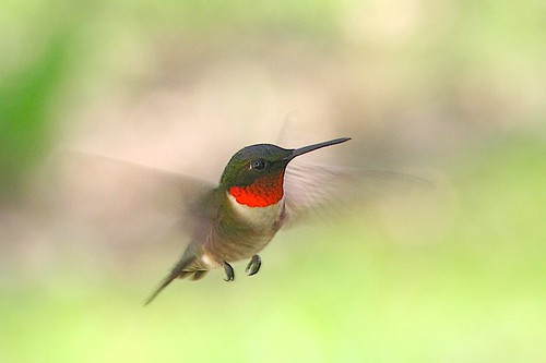 Ruby-throated Hummingbird by geekinthegarden (in the woods with no internet!).