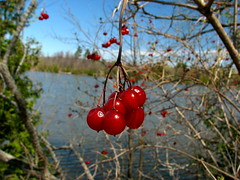 Red Berries (Rock Steady Images) Tags: park red ontario canada macro berries lakeside 200views alliston p1f1 earlrowepark 7pointsystem bypaulchambers rocksteadyimages