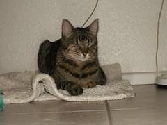 Willie (azmarine) Tags: animals kitties willie 2007