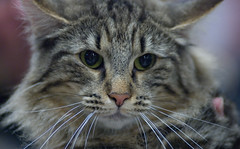 Maine Coon (peter_hasselbom) Tags: portrait cats cat catshow maincoon notmycat cc100 cc1000 stenkullen cat1000 spinneriet