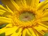 flower (jk10976) Tags: flowers nepal flower macro bravo asia yellowflower kathmandu jk naturesfinest blueribbonwinner supershot abigfave superbmasterpiece firsttheearth goldenphotographer flickrdiamond jk10976 searchandreward flickrphotoaward jkjk976