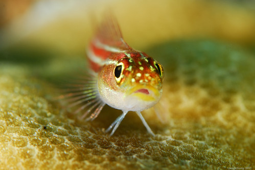 Colourful Goby