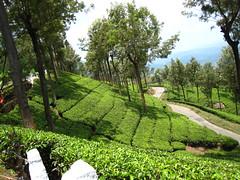 Tea Plantation (reynard1) Tags: teaplantation munnar