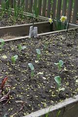 garden daffodil