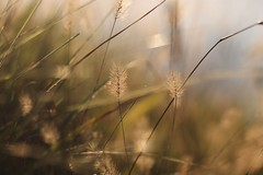 Manutenzione. (SimonaPolp) Tags: spighe wheat grass morning macro nature macronature day sun sunlight light bokeh november fall foliage autumn sky blue