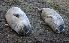Sausages !! (D.R.Williams) Tags: donnanook seal lincolnshire