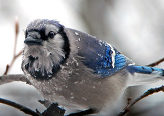cold jay - by Steve took it
