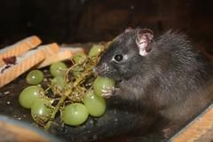 Black Rat (nrdsquash) Tags: food black dark fur lunch rat harvest whiskers ear wildwood grape vermin grasp