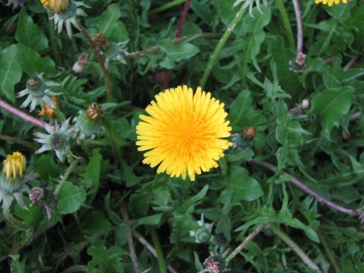 dandelion flowering