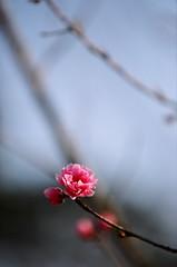 台北 陽明山 櫻花 Taipei Sakura (chris.jan) Tags: canon eos fuji sakura taipei 台北 陽明山 eos3 70200mm 小白 櫻花 xtra xtra400 f28l 小白is eos32
