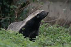 Honey badger (Matt1962) Tags: zoo kent tiger elephants bison lynx snowleopard howletts sigma100300 fishingcat cloudedleopard wildlifepark honeybadger redriverpig nikond80