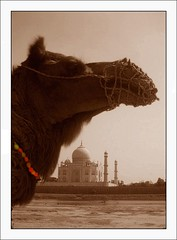 """ Camel with chocker and Taj "" (Yusff) Tags: india colour tajmahal agra camel choker     d80"