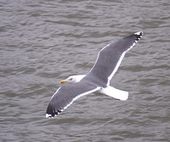 Great Black-Backed Gull flying over the Thames