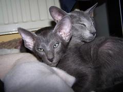 Ichan 82 days - one more week to go! (matthijs rouw) Tags: blue baby cute cat kitten orientalshorthair young kittens cuddly oriental ichan osha orientalcat orientalcats orientalshorthairblue