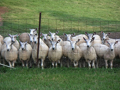 Blueface Leicester ewes on pasture