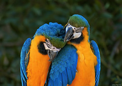 Be My Valentine (Jerry Ting) Tags: birds zoo feathers valentine thumbsup macaw oaklandzoo aclass blueandyellowmacaw featheryfriday abigfave impressedbeauty