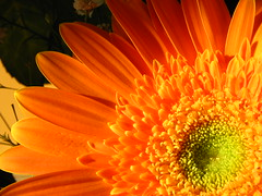 :·:·:·:Orange:·:·:·:·:·:·:·:·:·:·:·:·:·:·:·:·:·:·:·: (·:·: carla :·:·      [turistóloga]) Tags: orange plant flower macro nature flor natura explore excellenceinfloralphotography flowerscolors abigfave aplusphoto ltytr2 ltytr1