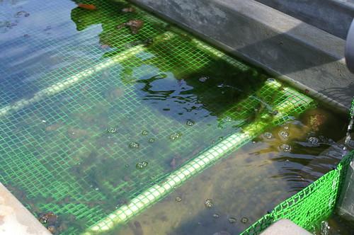 algae to bio fuel