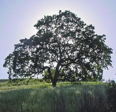 Solo Tree (** Gudenius **) Tags: sf california light sun tree bay san francisco east gudenius