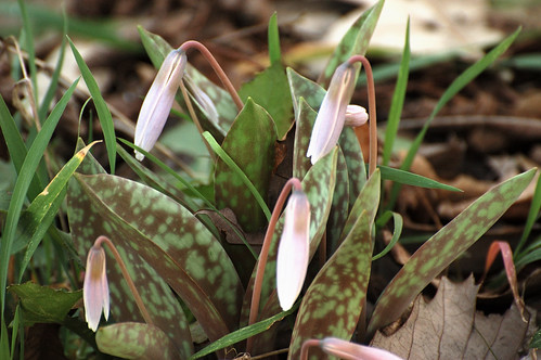 Trout Lily 3