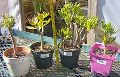 Jade Plants - Team M