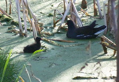 Moorhen and chick in Russia Dock Woodland