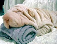 dog-that-looks-like-a-towel.jpg