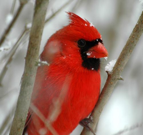 Cardinal 2 by Jimbo1239.