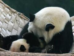 raspberries for baby (bob2cleo) Tags: panda zooatlanta pandas lunlun meilan