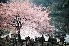 (otarako☺︎) Tags: film spring 新宿御苑 20mm f3 さくら