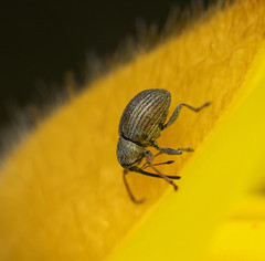 "A weevil on a petal • <a style=""font-size:0.8em;"" href=""http://www.flickr.com/photos/57024565@N00/420299718/"" target=""_blank"">View on Flickr</a>"