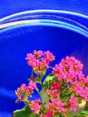 Flowers for LoSinAr (robokow) Tags: barcelona pink blue inspiration color hongkong colorfull urbannature flickrgift impressedbeauty robokow explorerobokow