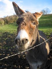 Donkey - by Amayita