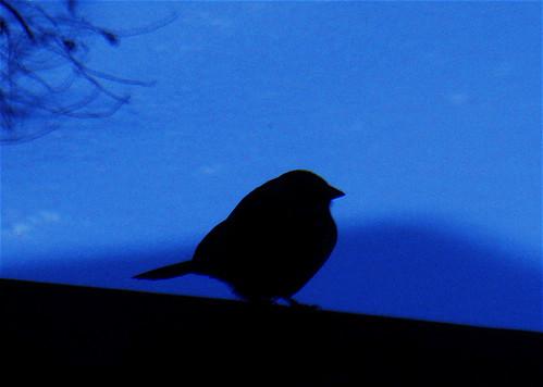 bird blue