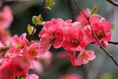 japnbirs (Gab) Tags: red plant flower nature garden spring flora hungary 123 springtime magyarorszg chaenomelesjaponica japnbirs naturewatcher colourartaward