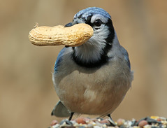 Now that's one BIG NUT!!! (nature55) Tags: nature birds outdoors interestingness wildlife aves bluejay peanut nut ornithology naturesfinest nature55 abigfave frontpageofexplore impressedbeauty avianexcellence flickrdiamond 5explorepage thebestnothingelse