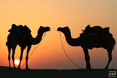 sunset in the rajasthan desert (photos4dreams) Tags: india colors desert dromedary camel camels indien rajasthan iloveindia colorphotoaward superbmasterpiece meraindia photos4dreams photos4dreamz ©photos4dreams flickrlovers