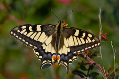 Happy Fluttery Friday! (macropoulos) Tags: nature yellow butterfly insect topf50 bravo 500v20f lepidoptera 500v50f soe animalia arthropoda swallowtail papilio insecta naturesfinest papilionidae blueribbonwinner hexapoda machaon supershot 1500v60f 1000v40f canonef100mmf28macrousm outstandingshots specnature specanimal mywinners abigfave canoneos400d outstandingshotshighlight colorphotoaward impressedbeauty ultimateshot specinsect 50faves50comments500views superbmasterpiece top20butterflies diamondclassphotographer flickrdiamond magicofaworldinmacro