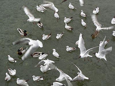 mouettes et canards.jpg