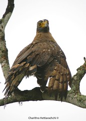 Crested Serpent Eagle drying its wings