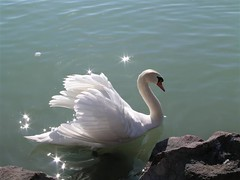 Mute Swan - hatty (elisabatiz) Tags: nature birds animal swan explore animalplanet balaton onlythebest