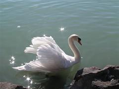 Mute Swan - hattyú (elisabatiz) Tags: nature birds animal swan explore animalplanet balaton onlythebest