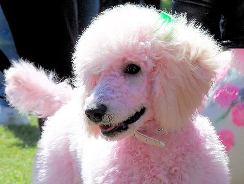 Pink Poodle image
