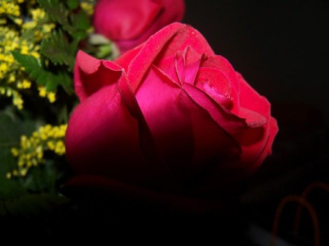 Una rosa por la mañanita.