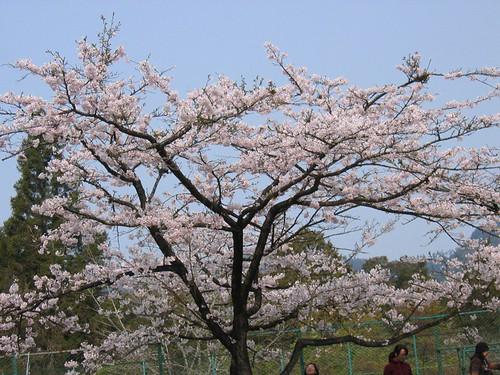 2007阿里山櫻花季 034.jpg
