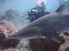 Grey Nurse Shark (richard ling) Tags: fish shark underwater au australia scuba diving nsw greenisland southwestrocks sandtigershark chordata elasmobranchii carchariastaurus greynurseshark lamniformes mackerelshark odontaspididae