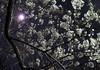 Night Cherry blossoms 夜桜