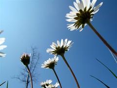voglia di sole (perplesso42) Tags: flowers parco sun san campo fiori sole onblue smörgåsbord donà saveearth anawesomeshot awesomeblossoms anuniverseofflowers gfeffe