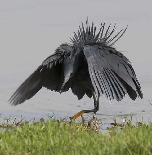 black egret aka black heron egretta ardesiaca a photo on flickriver
