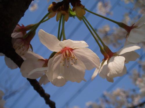 鴨川桜20070409 023